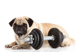 pug dog dumbbell isolated on white background
