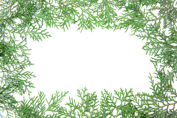 Thuja branches on white background