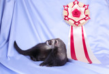 Young sable ferret with award