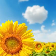 Sonnenblume Nahaufnahme auf Feld und blauer Himmel