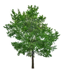dark green large lime tree isolated on white