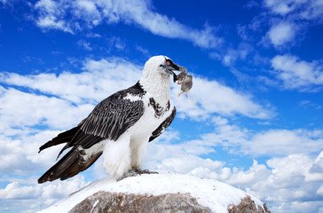 Griffon vulture against sky background