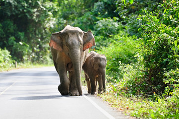 Asian elephant in Khao Yai National Park,Thailand
