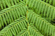 Giant Fern Leaves background