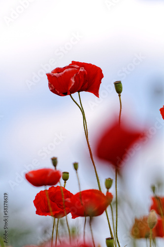 Red poppies © Nneirda