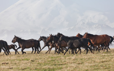 herd of horses runs against the snow-covered mountain