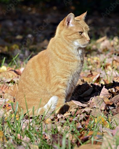 Orange Tabby Cat Sitting in Fall Leaves