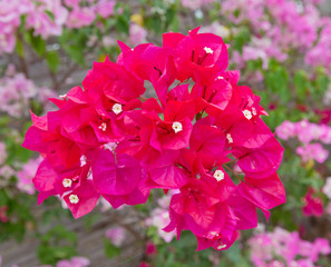 Colorful of bougainvillea flower