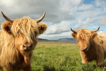 Close up of scottish highland cow in field © Salvatore