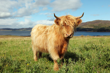 Close up of scottish highland cow in field