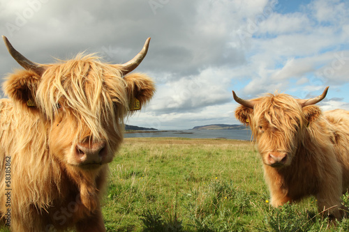 Deurstickers Koe Close up of scottish highland cow in field