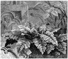 Plant : Mandragora