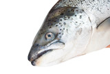 Head of the Atlantic salmon