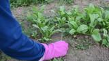 hands in rubber gloves grub up weeds between marigold plants poster