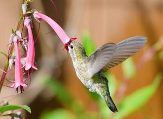 Anna's Hummingbird feeding on Cape Fuchsia