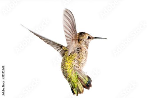 Fotobehang Vogel Anna's Hummingbird in Flight