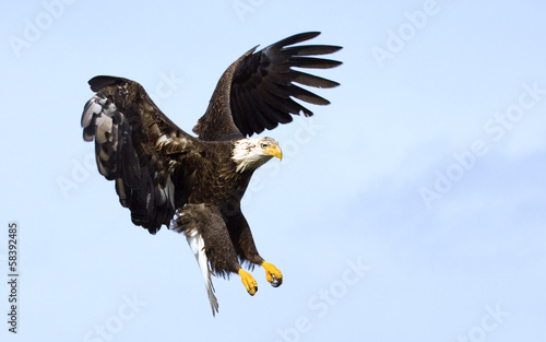 Bald Eagle in for a Landing with wings stretched