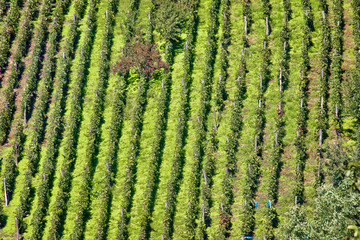 Green hill vineyard aerial view