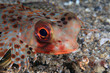 Flying gurnard (Dactyloptena orientalis)