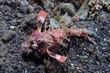 Demon stinger (Inimicus didactylus)