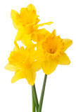 Daffodil flower or narcissus bouquet isolated on white backgro