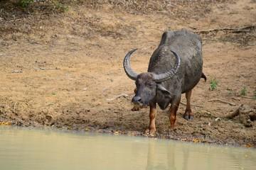 Water Buffalos in Yala National Park, south-east Sri Lanka