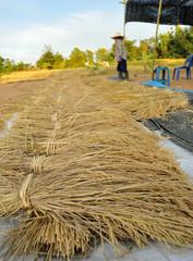 bundles of rice after the harvest