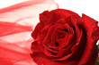 Beautiful rose and color fabric, isolated on white