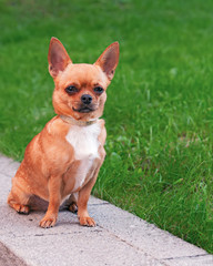 Chihuahua dog sitting on a background of green grass and looking