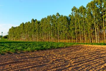 Eucalyptus Forest Grove