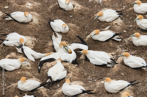 gannets fighting over nest