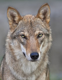 The head of a young, two year old, european wolf female.