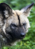Dark look of an African wild dog.