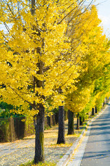 ginkgo trees on the way to become the yellow leaves
