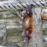 Walking on the air of an orangutan baby.