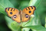 The Peacock Pansy. The scientific name is Junonia almana almana