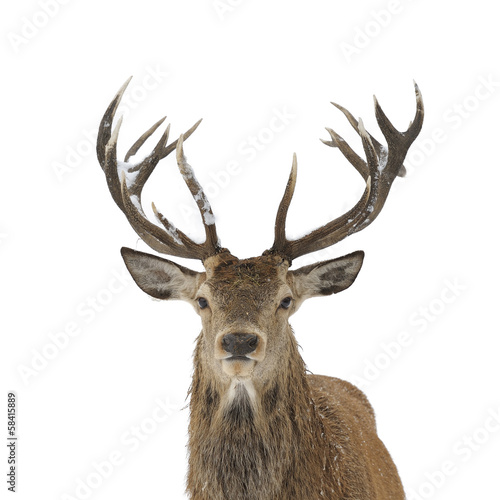 Deurstickers Hert Red deer portrait