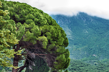 Coniferous tree. Mountain landscape, Montenegro