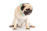 pug dog glasses isolated on white background