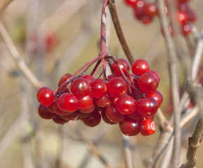 Berries of red Viburnum closeup