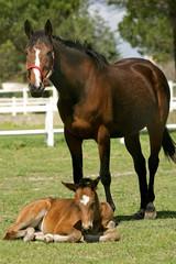 poulain et sa mère au pré