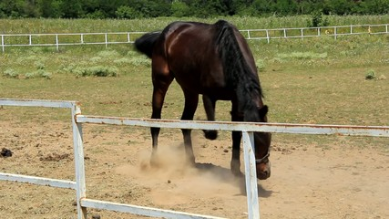Horse scrapes with its hoof ground and makes a lot of dust