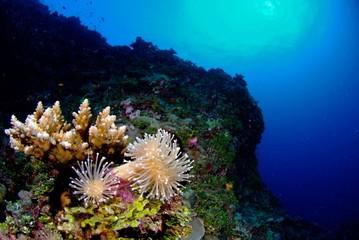 イソギンチャクと小さな珊瑚