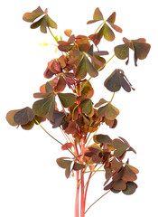 Oxalis triangularis flowers