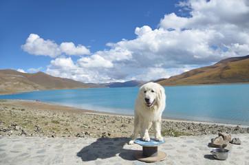 Тибет, белая лохматая собака на берегу святого озера Ямдрок Тсо