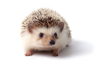 Little hedgehog.