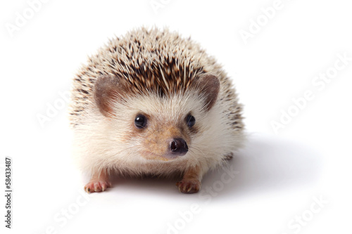 Little hedgehog. - 58433487