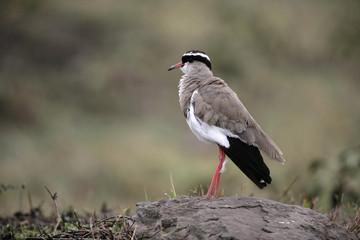 Crowned plover, Vanellus coronatus