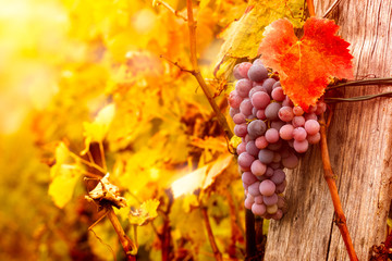 grape  on vine