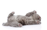 little british shorthair kitten lying on the back. isolated